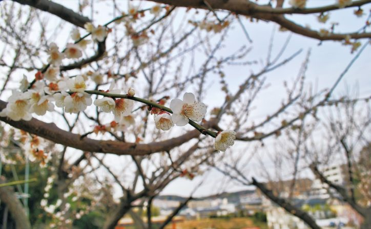 春告げる梅の花 横浜市泉区「岡津町ふれあい梅林」