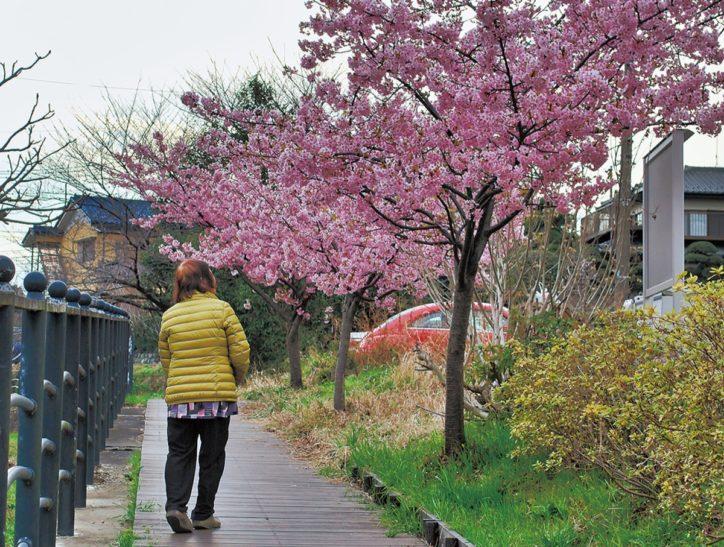 平瀬川上流域に春を運ぶ~河津桜から愛され桜の開花スタート@川崎市