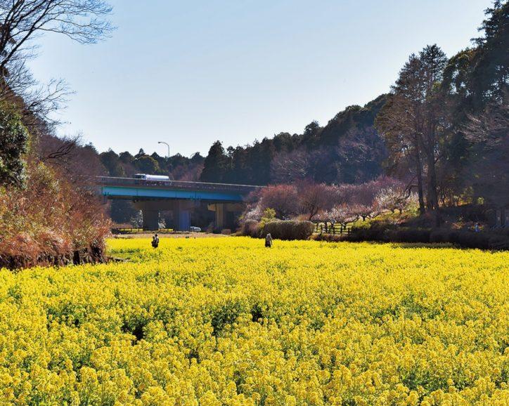 追分市民の森で菜の花が満開!「まつり」は中止【横浜市旭区】
