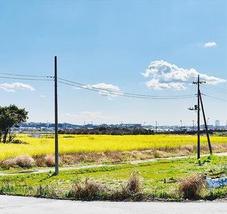 """座間市「ひまわりまつり」の会場に""""黄色のじゅうたん""""菜の花咲く"""
