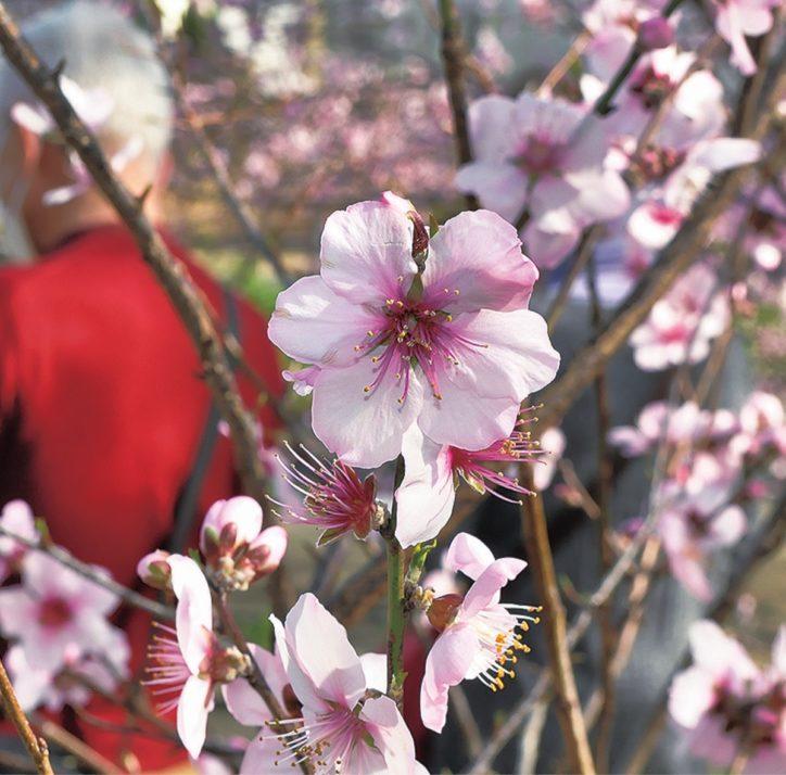 アーモンドの花が満開  伊勢原市丸山城址公園で