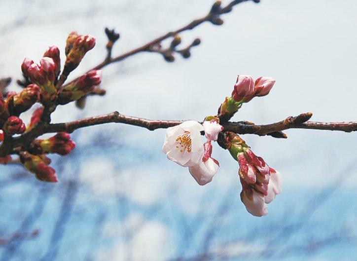 """桜、照明で""""映え""""演出 近隣企業5年前から<川崎市高津区・中原区>"""
