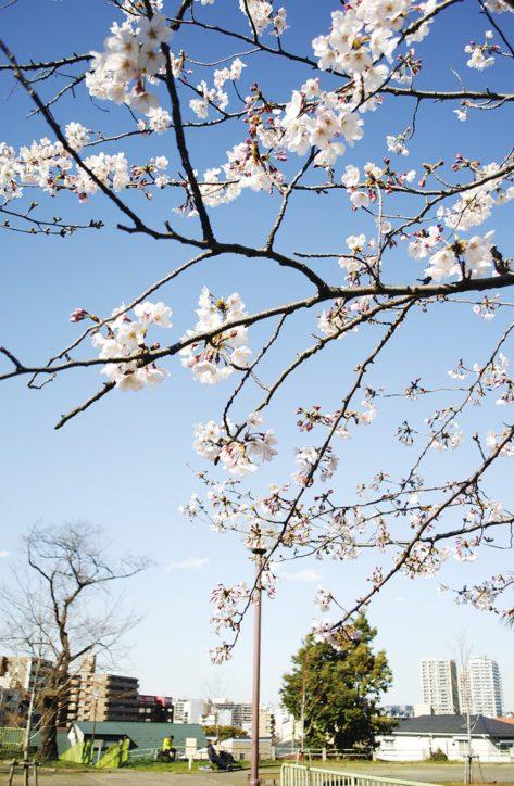 【横浜・神奈川区】可憐な桜の花・・・開花続々