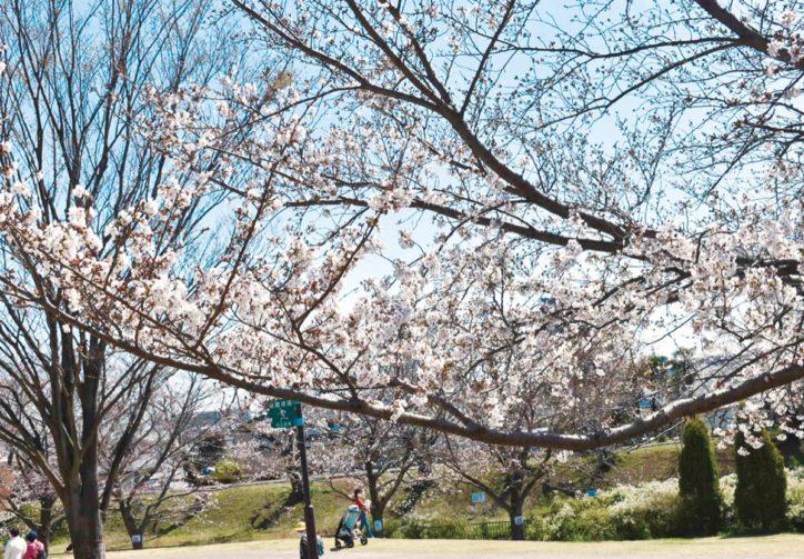 海老名市「相模三川公園」のソメイヨシノ
