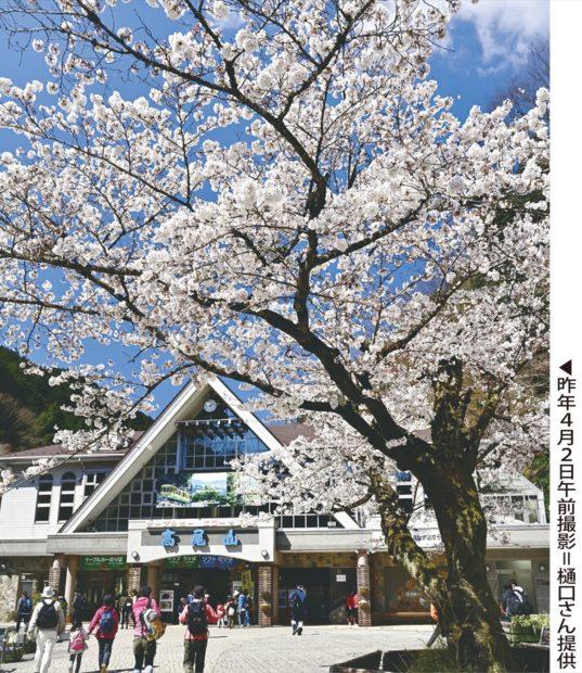 例年より5日早く桜が開花【八王子市役所浅川沿いほか】
