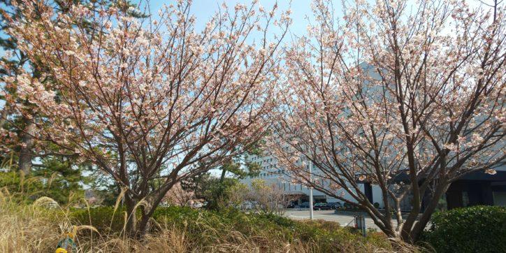 暖かな陽気に誘われて桜の木にメジロもお花見@大磯プリンスホテル
