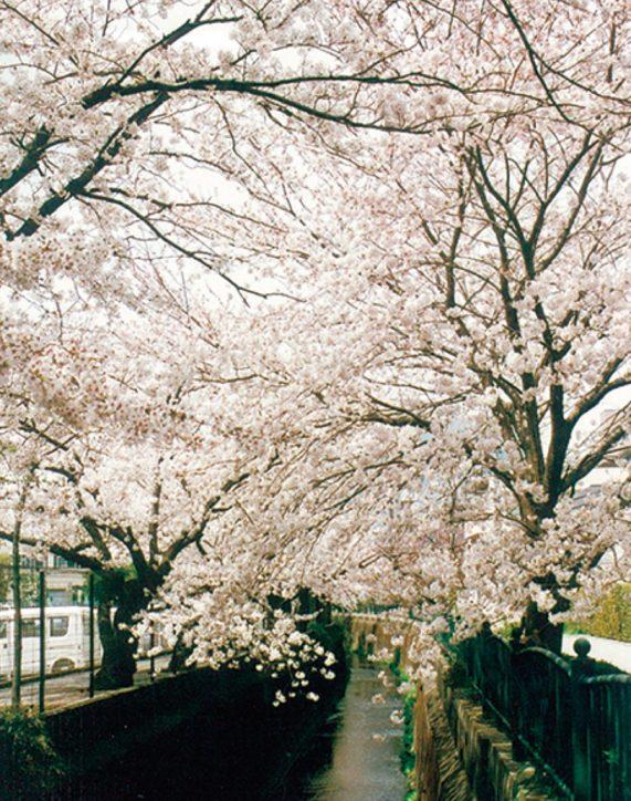 大船の砂押川沿いで「桜愛でる」見ごろは3月下旬から【鎌倉市岩瀬】