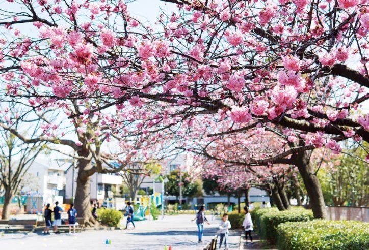 港南区「東永谷桜台公園」横浜緋桜(よこはまひざくら)