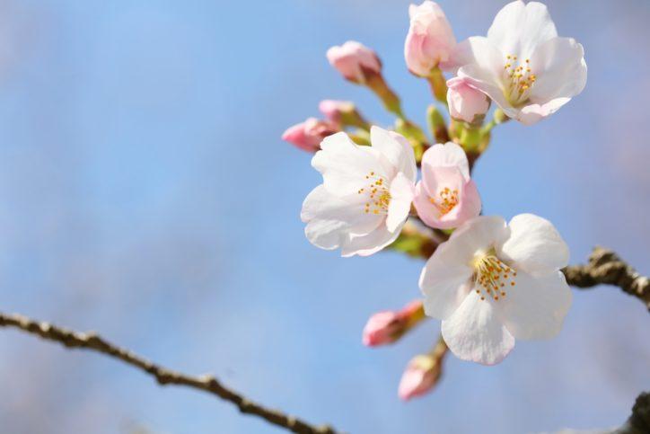 厚木・愛川・ 清川で「桜らんらん」