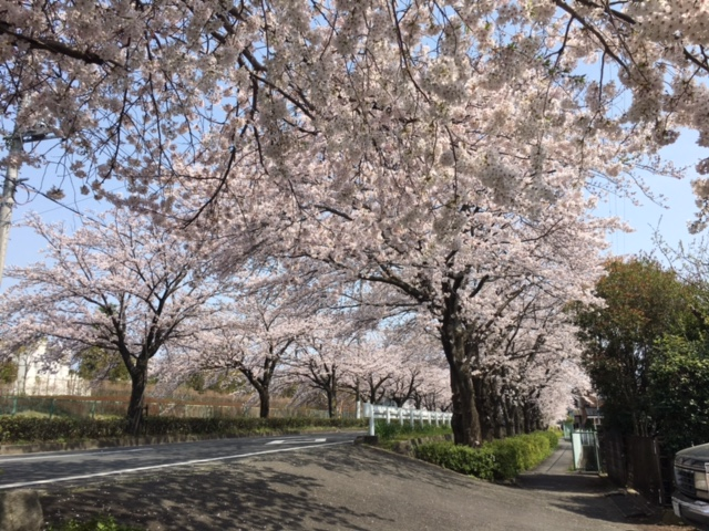 隠れた桜の名所小田原「しらさぎ会館横」桜のトンネル