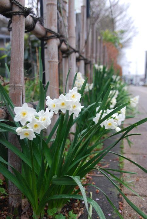 「高津区の花スイセン」2020年3月見ごろ@川崎市の薬医門公園