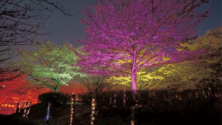 町田・相原中央公園桜の丘周辺で竹灯籠点灯と桜のライトアップ