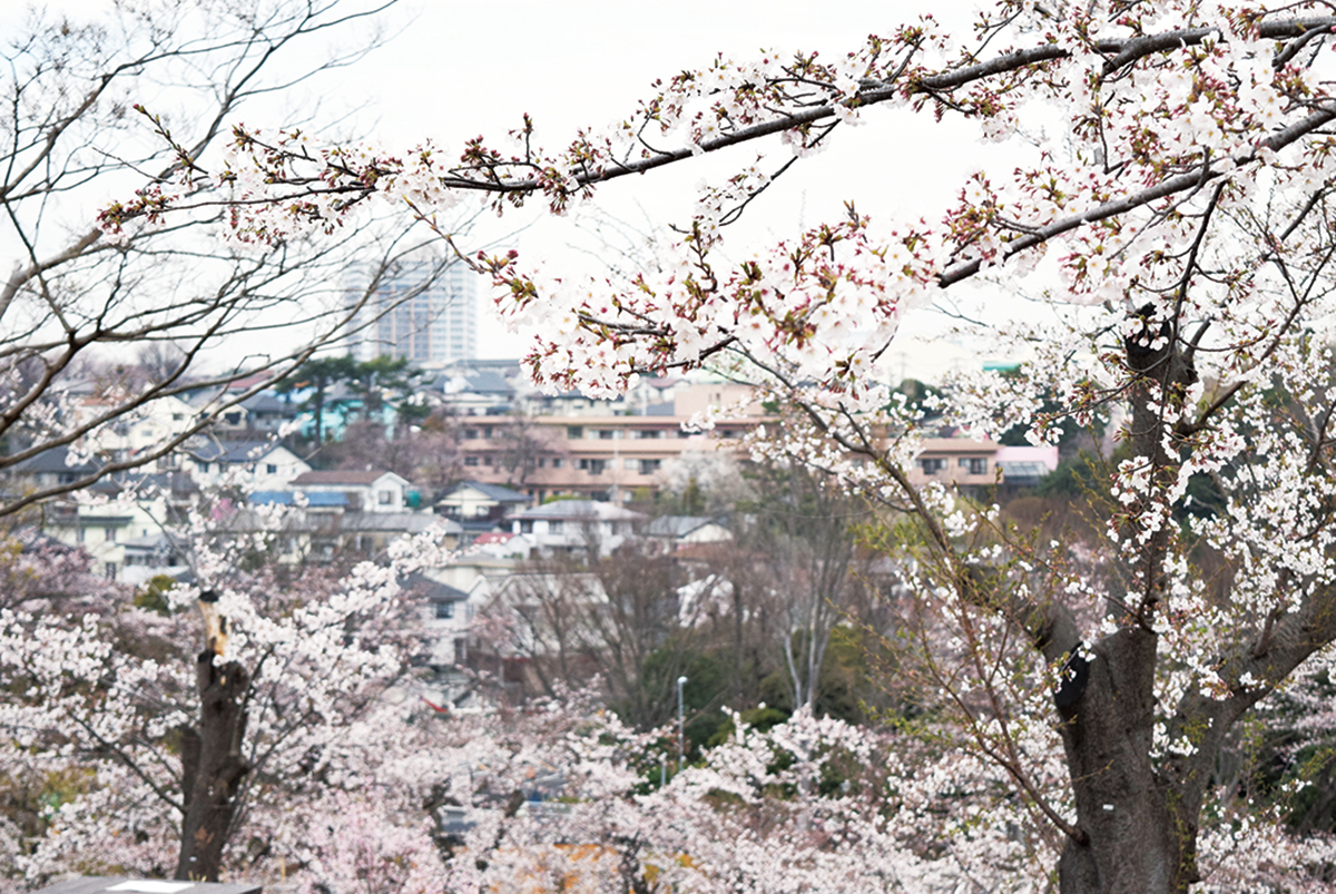 横浜市旭区の桜<一挙5か所ご紹介>