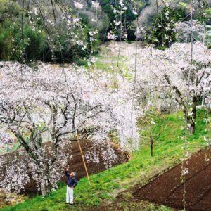 中井町に咲く三春滝桜の後継「まつもと滝桜」