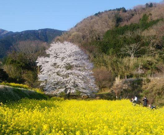 秦野・淡墨桜の定点観測2020