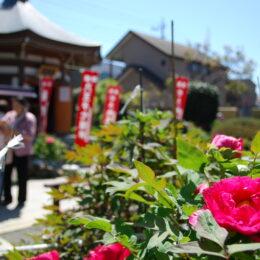 【東京都八王子市】120種を超える牡丹咲き誇る八王子・宗格院