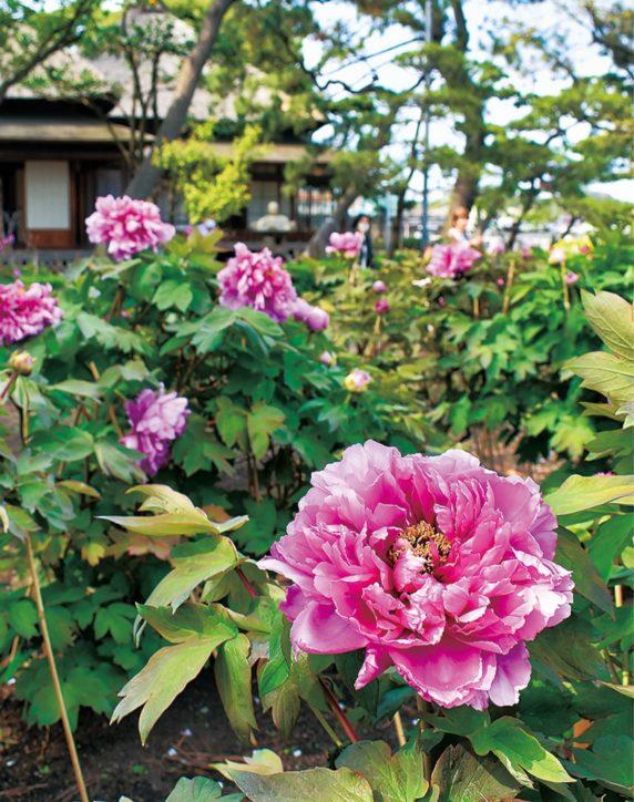 牡丹、各所で開花 見ごろは4月中旬ごろ【横浜・金沢区】