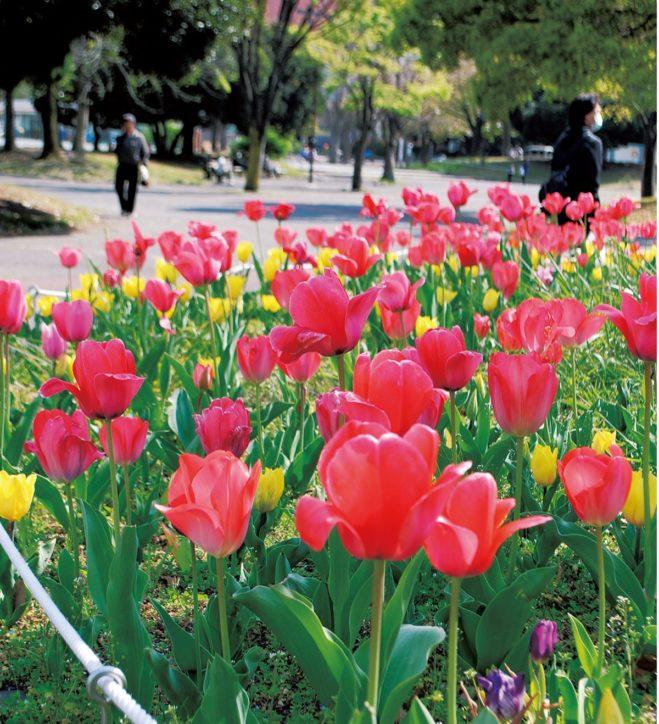 反町公園 チューリップの赤白黄色 春うらら【横浜・神奈川区】