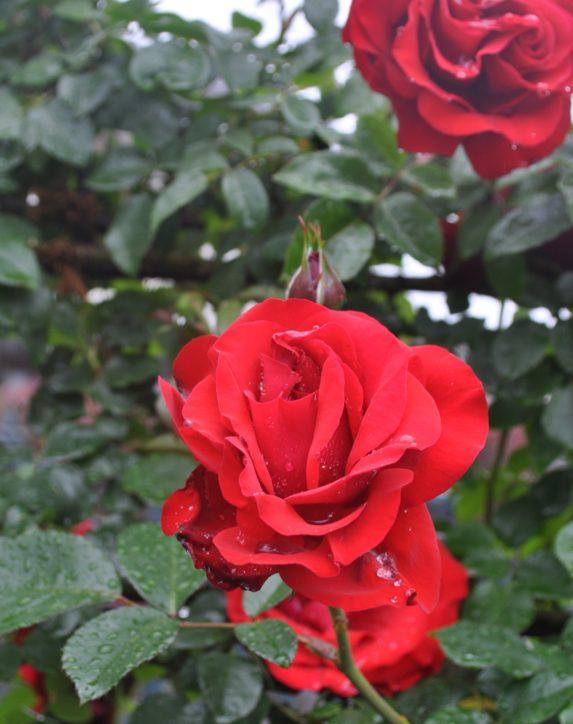 【受付締切5/25】八王子「ローズガーデン」へご招待!400本近くのバラが咲き誇る