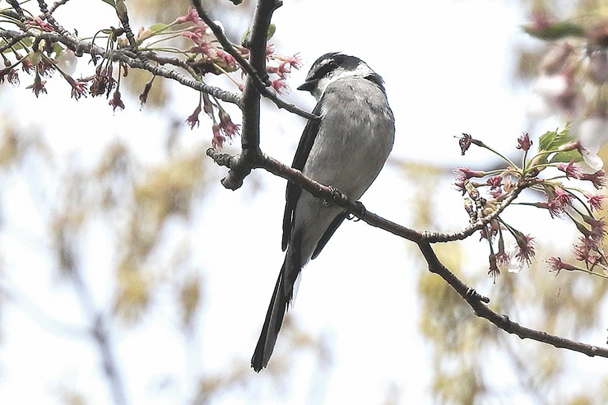 〈神奈川県内で初〉野鳥リュウキュウサンショウクイ営巣を秦野市で確認 繁殖に期待