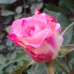 〈5月に神奈川周辺で咲く花〉2021年はご近所で散策、家族で近隣お出かけ、お家で動画や写真で心置きなく堪能