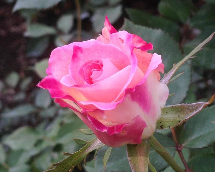 〈5月に神奈川周辺で咲く花〉2020年はご近所で散策する?動画や写真で心置きなく堪能する?