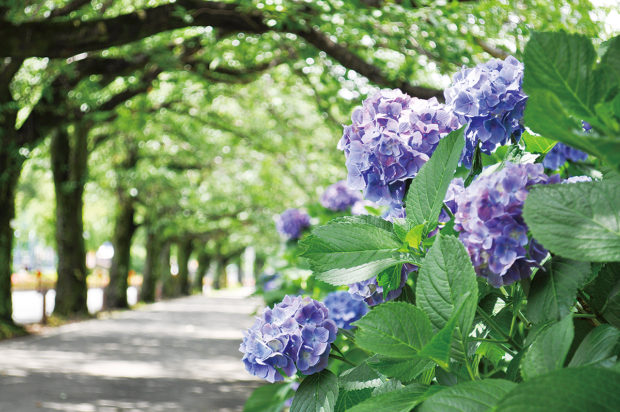 はだの紫陽花もよう