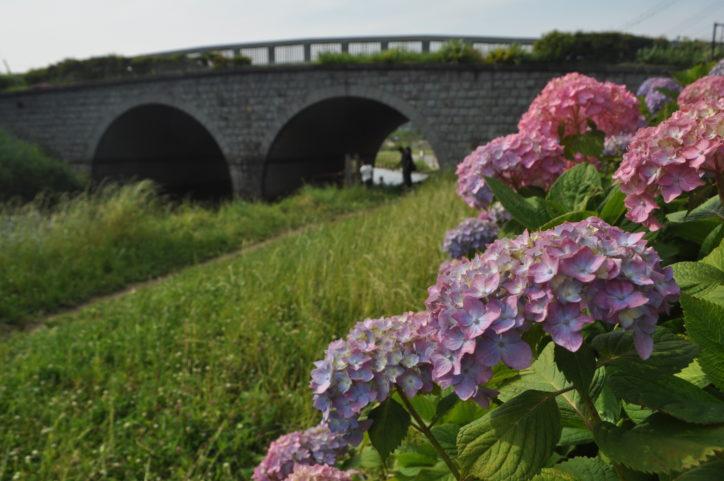 アジサイが見ごろ!瀬谷区和泉川 めがね橋