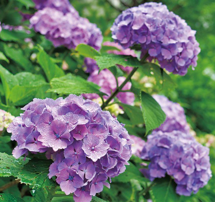アジサイ色鮮やかに 南希の森 6月26日には切り花配布も@横浜市・旭区南希望が丘