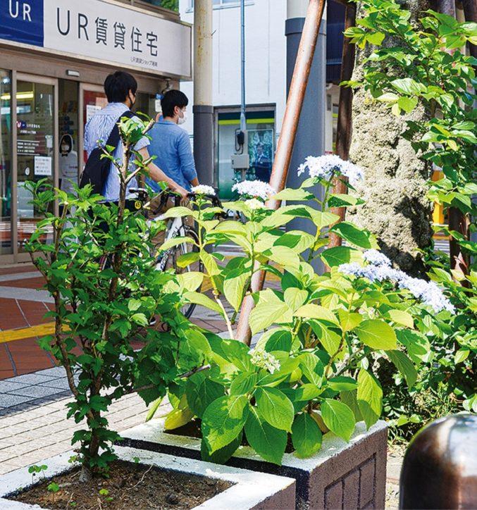 平塚 湘南スターモール商店街を彩る「小さな小さなあじさいだより」開催中