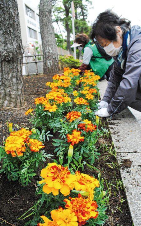 鎌倉若宮大路沿いに「マリーゴールド800株」かまくら桜の会員らが植栽