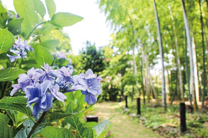 横浜市鶴見区・横溝屋敷のアジサイ 竹林横に小道で見ごろ