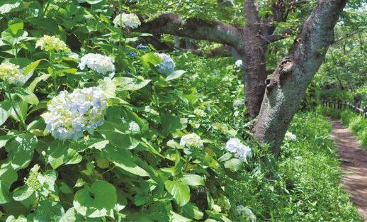 アジサイ色づく 三ツ沢せせらぎ緑道など【横浜・神奈川区】