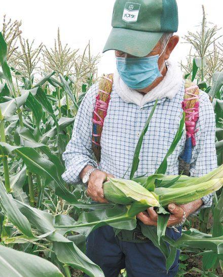【横浜市神奈川区】夏の味覚、甘くて大粒!トウモロコシ収穫進む