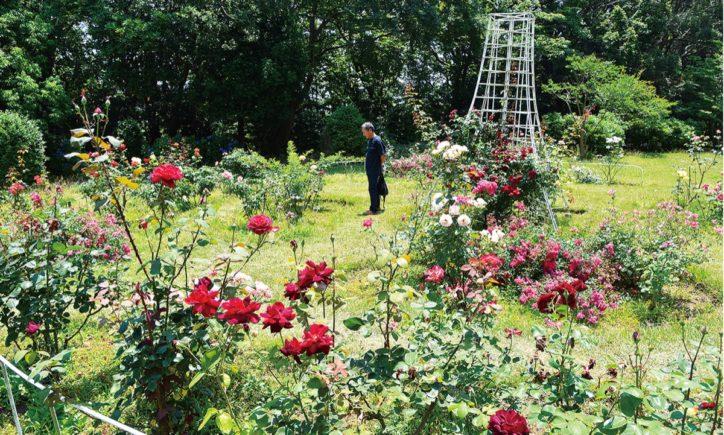 「100品種のバラが見頃」 大輪のウィンザーカナダも@藤沢市大庭城址公園