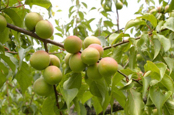 ドライブスルーで美味しい梅が買える!本沢梅園の梅を販売【相模原市緑区川尻】