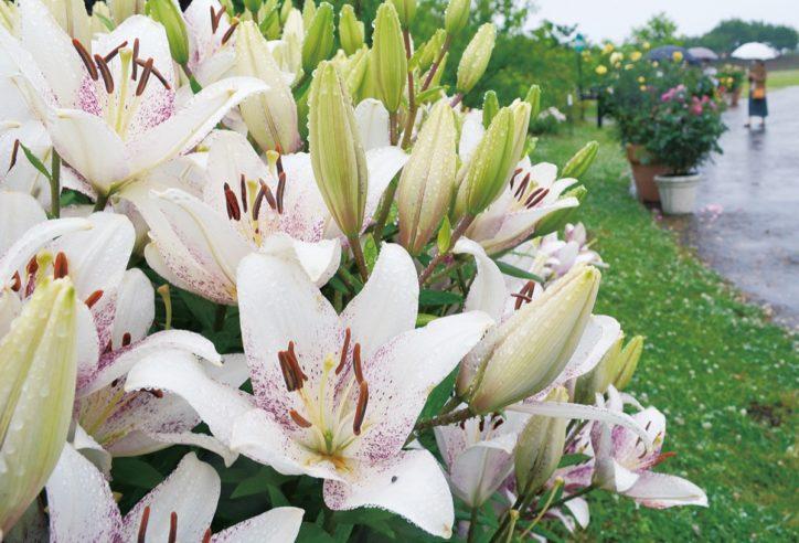〈営業再開〉平塚の「花菜ガーデン」優雅なユリの香りで出迎え 60品種咲く