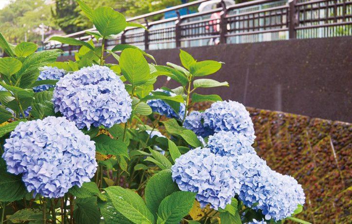 雨露に濡れ、鮮やかにアジサイ見ごろ間近【川崎市中原区】