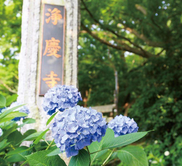 アジサイの季節到来 柿生の浄慶寺【川崎市麻生区】