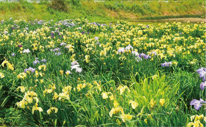 咲き誇るハナショウブ「かながわの花の名所100選」@ 厚木市飯山「あやめの里」