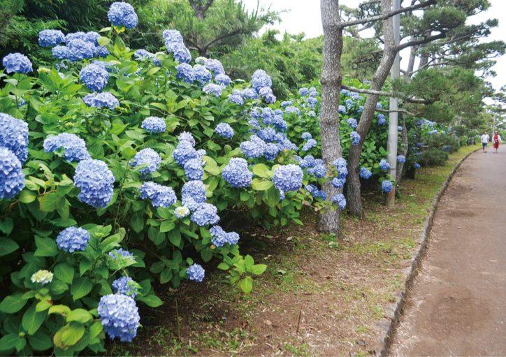 城ヶ島公園 アジサイ見ごろー約2000株が色鮮やかにー
