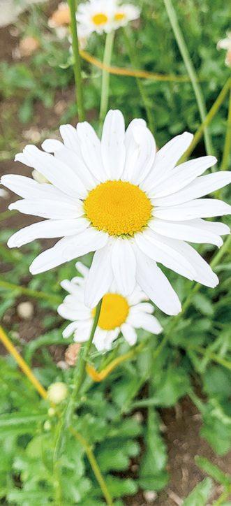 厚木市で「思いをつなぐ奇跡の花」 睦合南公民館で種配布