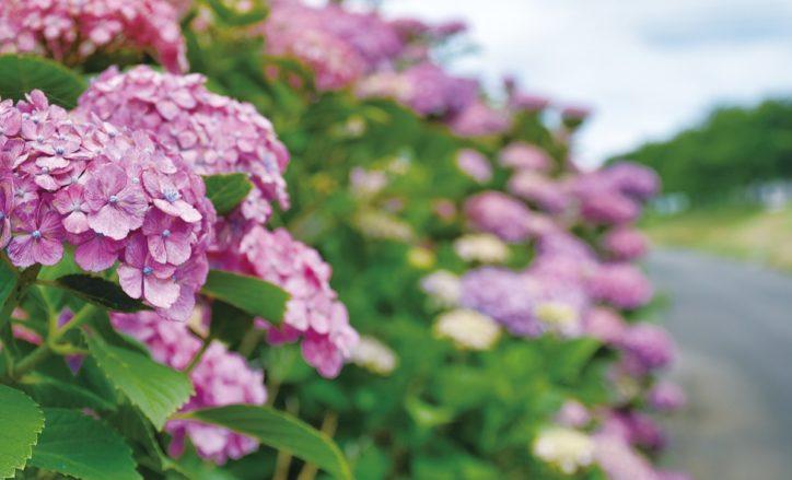 【横浜市緑区】雨の代名詞が見ごろ 区内各所でアジサイ咲く