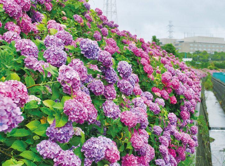 【横浜市都筑区】大熊川などに梅雨告げるアジサイ