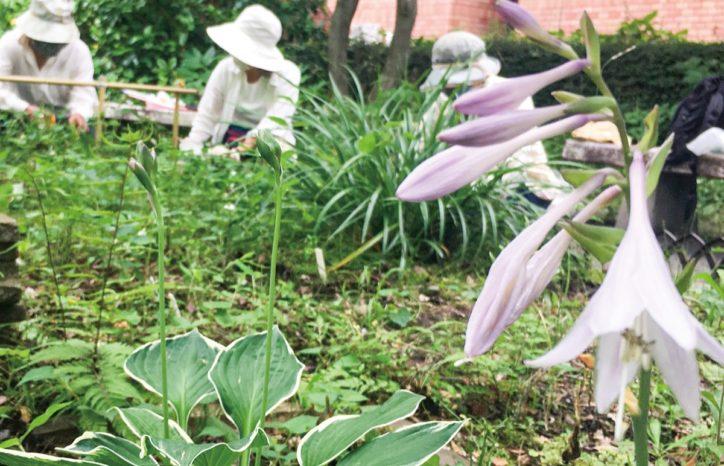 川崎市麻生区役所、中庭「擬宝珠(ギボウシ)」咲く