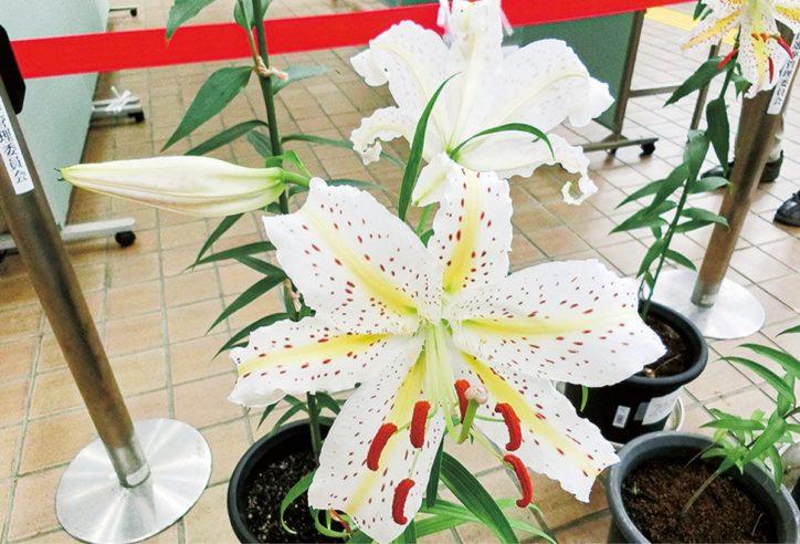 川崎市・麻生市民館で「区の花」ヤマユリ披露