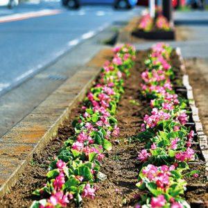 イエローからピンクの花に衣替え⁉寒川町の産業道路は花ざかり