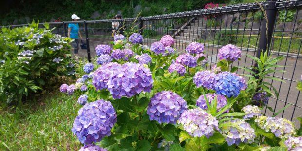 梅雨空に映える花々【大磯町・中井町】