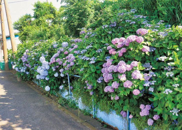 初夏彩るアジサイの花 見頃迎え、咲き誇る【横浜市港北区】
