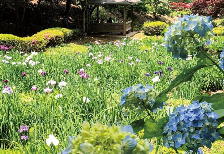 薬師池公園の紫陽花・花菖蒲が雨に映える【町田市野津田町】